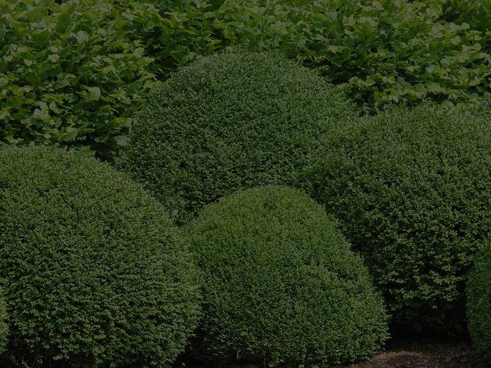 Bushland Shrubs and Hedges